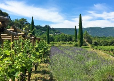 Provence Wine Tours - Vineyard surrounded by lavender and cypresses