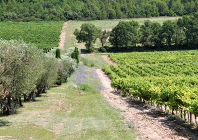 Provence Wine Tours - A vineyard surrounded by olive trees